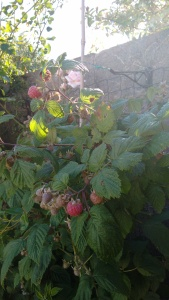 Raspberry & Rambling Rose